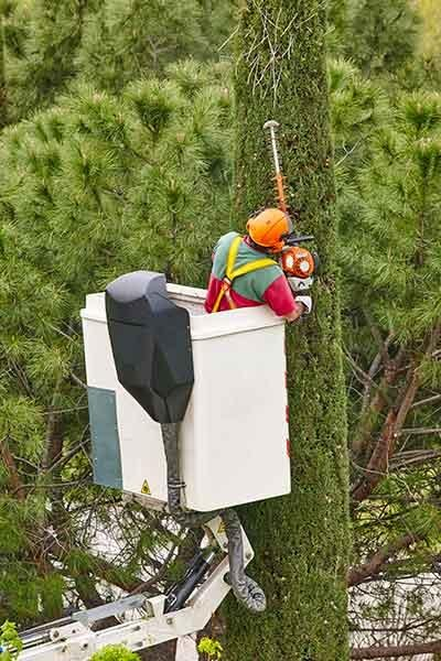 man-pruning-trees-fort-collins