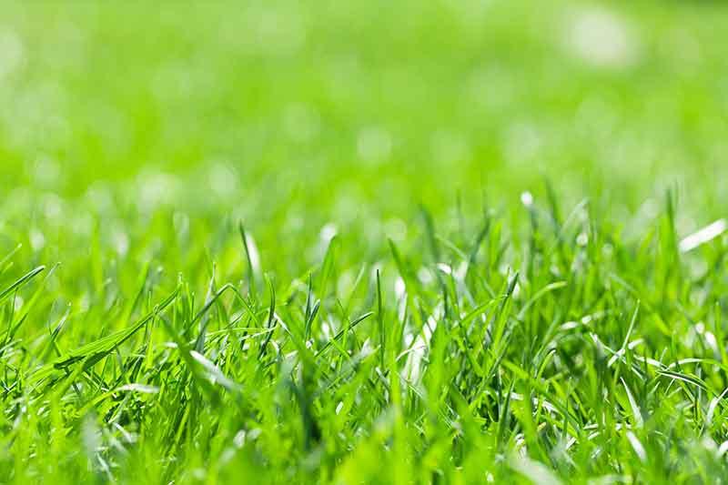 Healthy green grass growing in the colorado sun