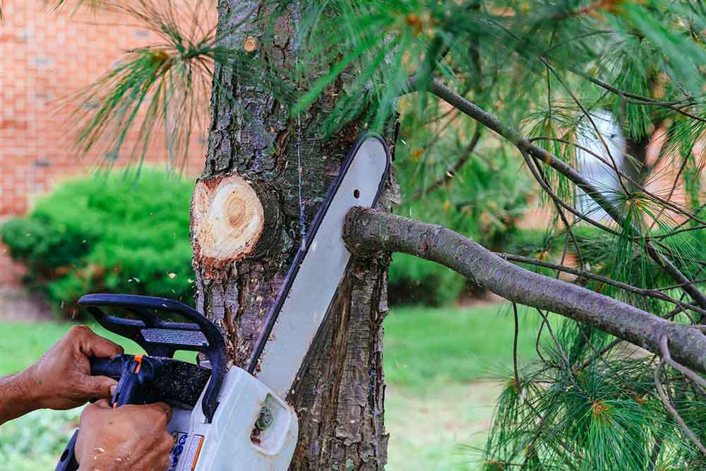 using a chainsaw for tree pruning