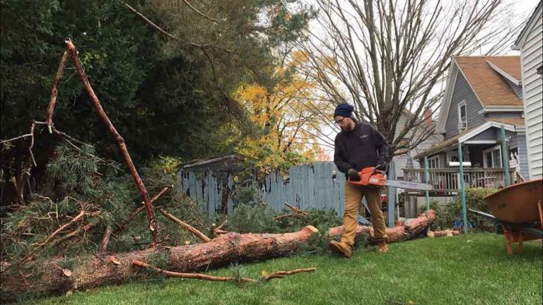 professional removing a giant tree in Fort Collins