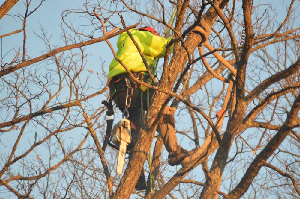 man trimming branches in Fort Collins