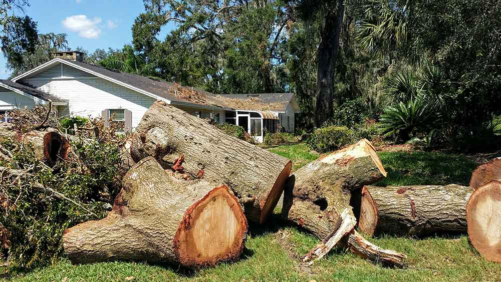 tree service for removing a substantial tree in Fort Collins